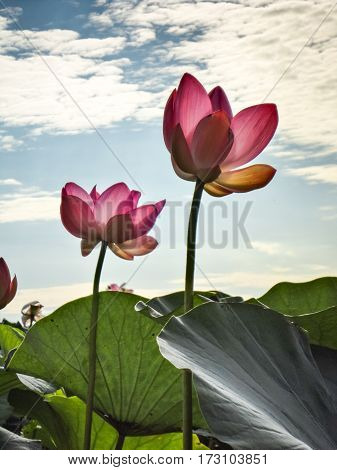 Lotus Bloom In The Delta Of The Volga, Russia