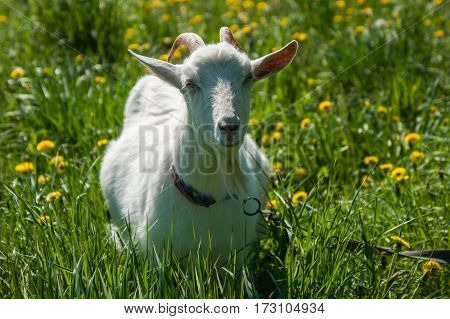 White Goat In A Meadow, Sergeevo, Palekh, Vladimir Region
