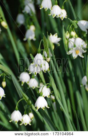 Very pretty white snow drop lilies blooming in nature.