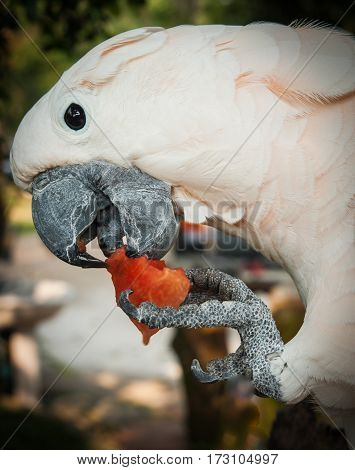Large Rose Parrot Eating A Slice Of Watermelon, Koh Samui, Thailand