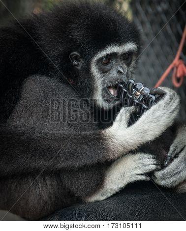 Little Black Gibbon, Koh Samui, Thailand