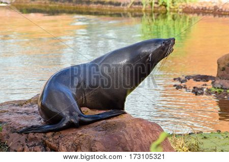 A detail of California sea lion in zoo