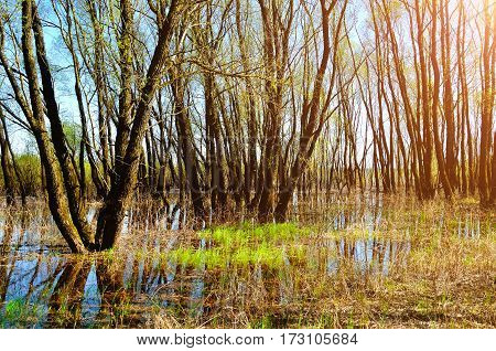 Spring landscape - forest riparian spring trees flooded with overflowing spring river water in nice weather - spring landscape with spring forest river and trees. Spring landscape