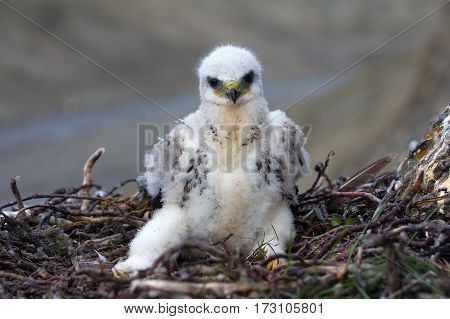 Rough-legged Buzzard Chick In Nest On Cliff On Tundra River