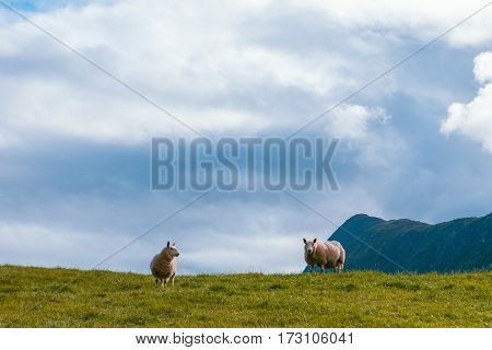 Two sheep in mountains of Scandinavia in summer
