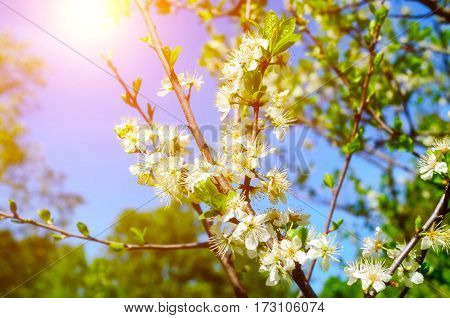 Spring background with branch of blooming spring apple tree under sunlight - focus at the central apple flowers. Spring background with blooming apple tree. Spring background of apple garden