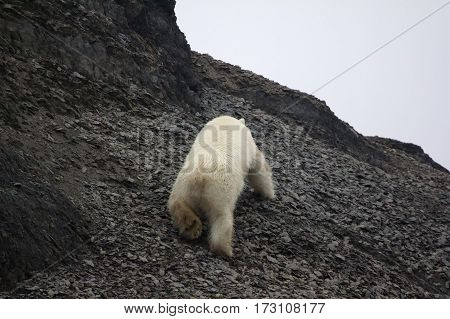 White Bear Deftly Scampers Up Side Of Mountain 2