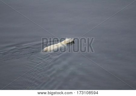 Ice and seals retreated far to North and this bear swam for prey to North pole. Northern island of Novaya Zemlya archipelago