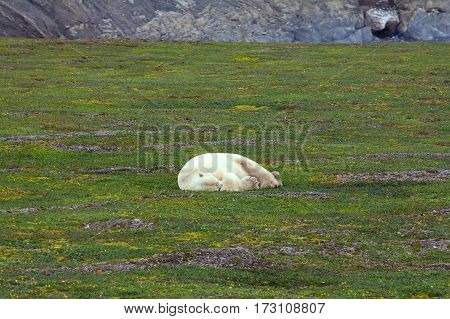 Unique photo: polar bear sleeping in open tundra in the polar day