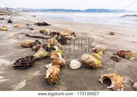 Seashells on the pacific beach of Kamakura, Japan