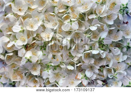 Fresh Flower Of Jasmine. Flower Background