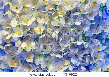 Fresh Flower Of Jasmine. Flower Background
