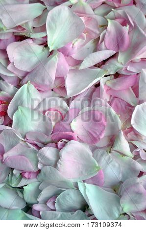 fresh petals rose. Flower petals background for romantic design