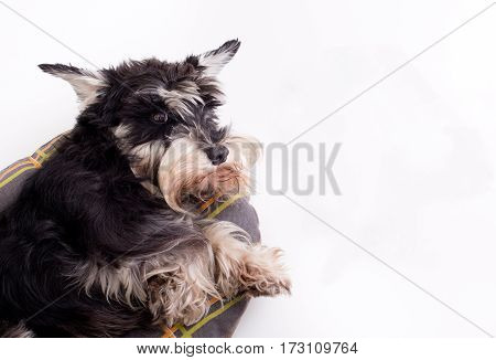 Dog Lying On Pillow And Looking Up