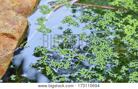 weed floating on pond in the park
