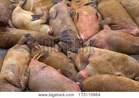 Life Atlantic walruses at haul out sites is (at most) of sleep and small conflicts with neighbors. Ned for such dense abundance of sleeping individuals is not clear as massive males no enemies-predators