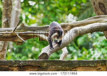 The lion-tailed macaque (Macaca silenus) or the wanderoo. Natural background with monkey on tree.
