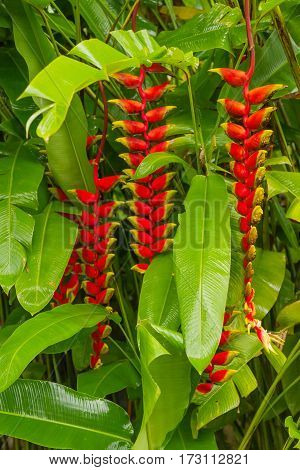 Lobster claw Heliconia. Natural background with exotic tropical flower. Bali Indonesia.