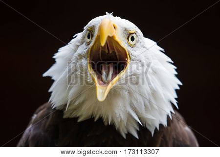 photograph of an American Bald eagle calling