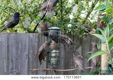 photograph of a family of starlings at a bird feeder