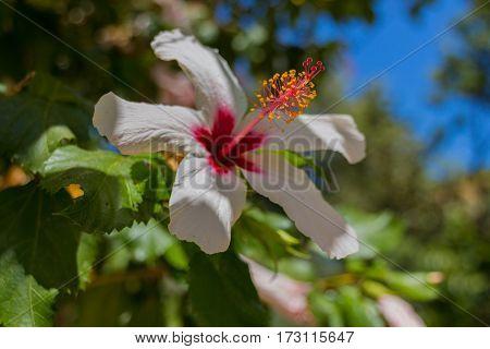 White Hibiscus Flower.