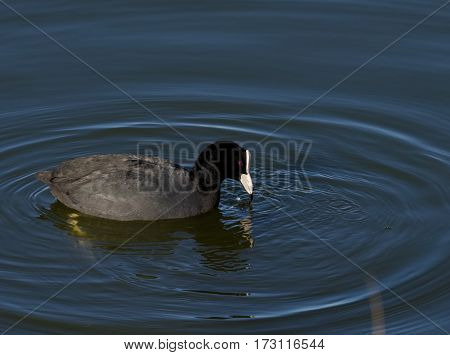 Coot make waves in calm water - (Fulica atra)