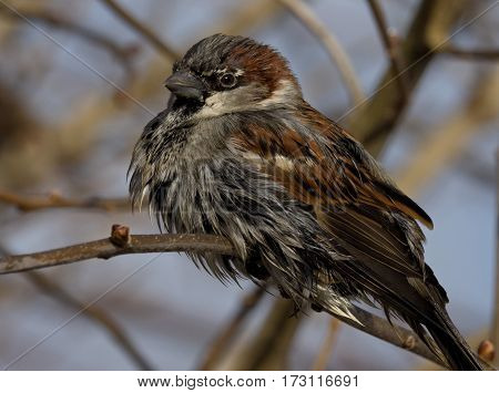 House Sparrow still wet after the bath - Passer domesticus
