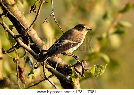 Seated female Pied Flycatcher on a branch during the autumn