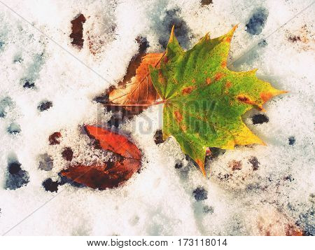 Maple Leaves On The Frosty Ground In Winter. Fall Frosty Leaves