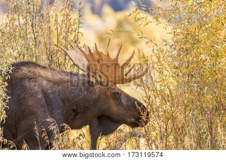 a shiras bull moose in autumn in Wyoming