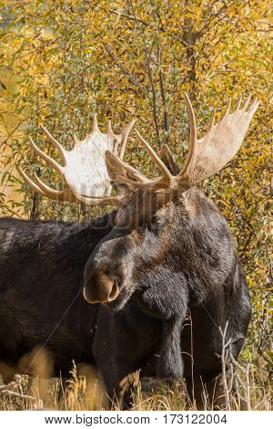 a bull Shiras moose in Grand Teton National Park Wyoming in fall