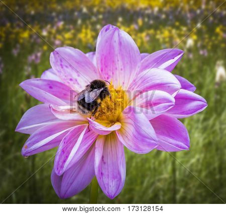 Close up of a bee on a flower with a diffused background.
