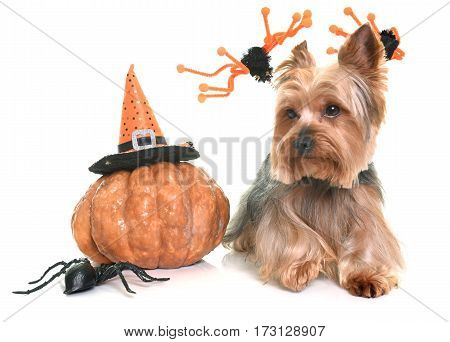 yorkshire terrier and halloween in front of white background