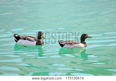 Two ducks are swimming on the lake