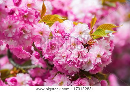 Harmony of nature created a composition with pink sakura flowers and large green leaves.