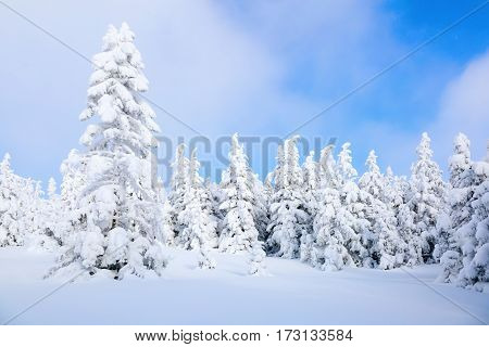 On a frosty beautiful day among high mountains and peaks are magical trees covered with white fluffy snow against the magical winter landscape.