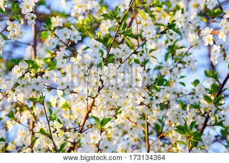 Many white cherry blossoms bloom luxuriantly on the branches on blue sky.