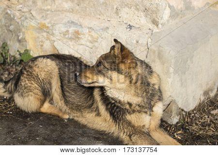 Dirty stray dog resting near a grey wall.