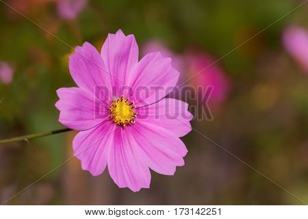 Pink-colored Mexican Aster - Garden Cosmos Aster In The Soft Light Of The Evening Sun