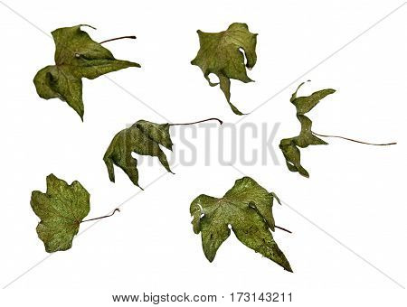 Pressed Leaves Of Cucumber