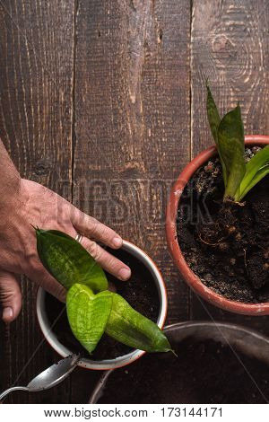 Man transplants indoor flower in a pot on the table vertical