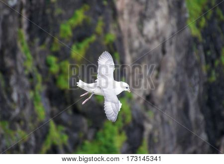 a white Seagull soars with stretched wings in the background rocks of fjords