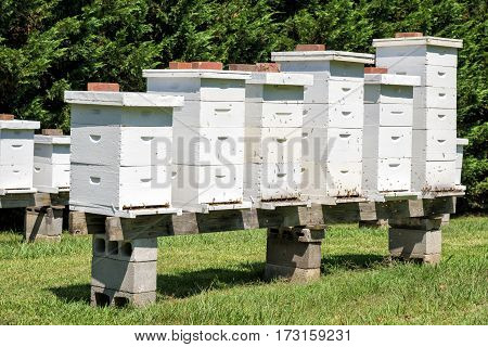 Horizontal shot of white Bee Hives With Bees.
