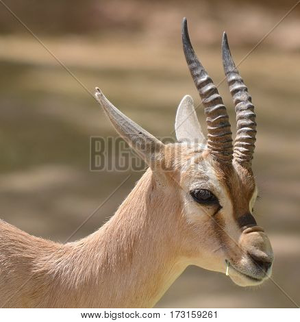 Speke gazelle (Gazella spekei) is the smallest of the gazelle species. It is confined to the Horn of Africa, where it inhabits stony brush, grass steppes, and semideserts.