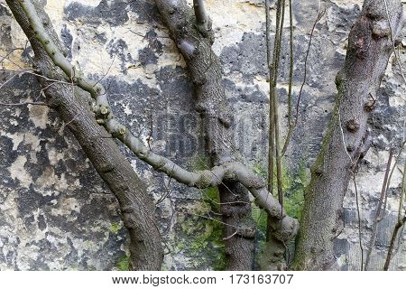 Pruned Tree Brunches Against Stone Wall In Winter