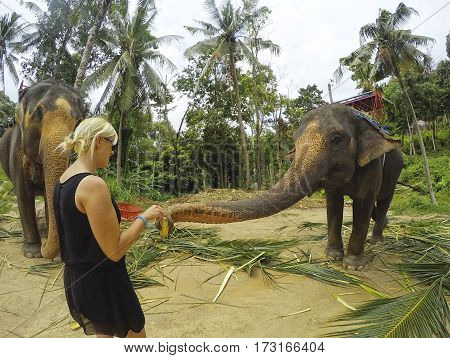 Tourist feeding banana and sugar cane for the elephant in Chiang Mai, Thailand.