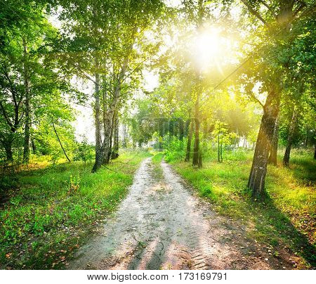 The road in a magic birch forest in sunny day