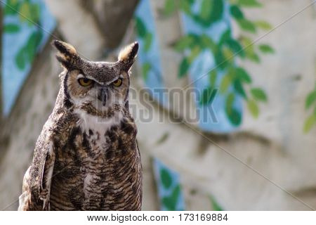 A Great Horned Owl giving its best stern look staring you down.