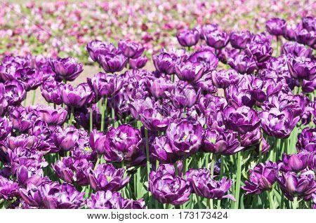 Terry purple tulips in a flower nursery. Background