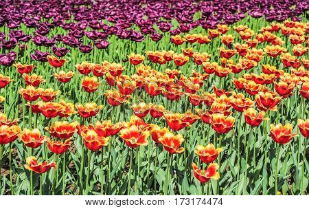 Yellow and red fringed and purple terry tulips in the nursery